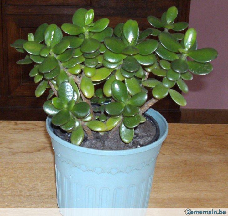 arbre de jade prix