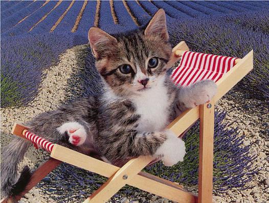 chat lavande
