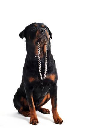 collier de dressage pour chien avis