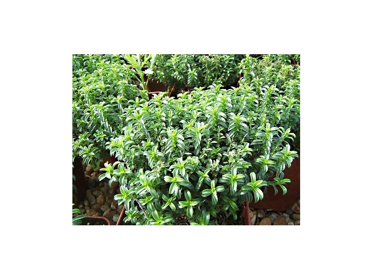 plante aromatique vivace