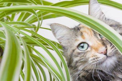 plante pour éloigner les chats