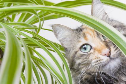 plante pour repousser les chats