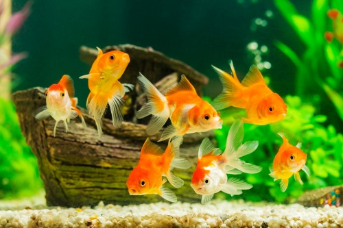poisson aquarium