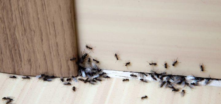pourquoi des fourmis dans la maison
